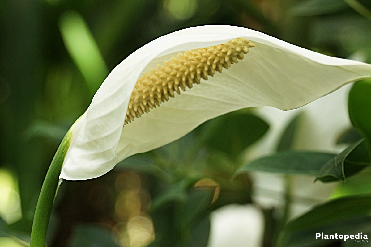 Peace Lily Plant Spathiphyllum Flower How To Grow And Care