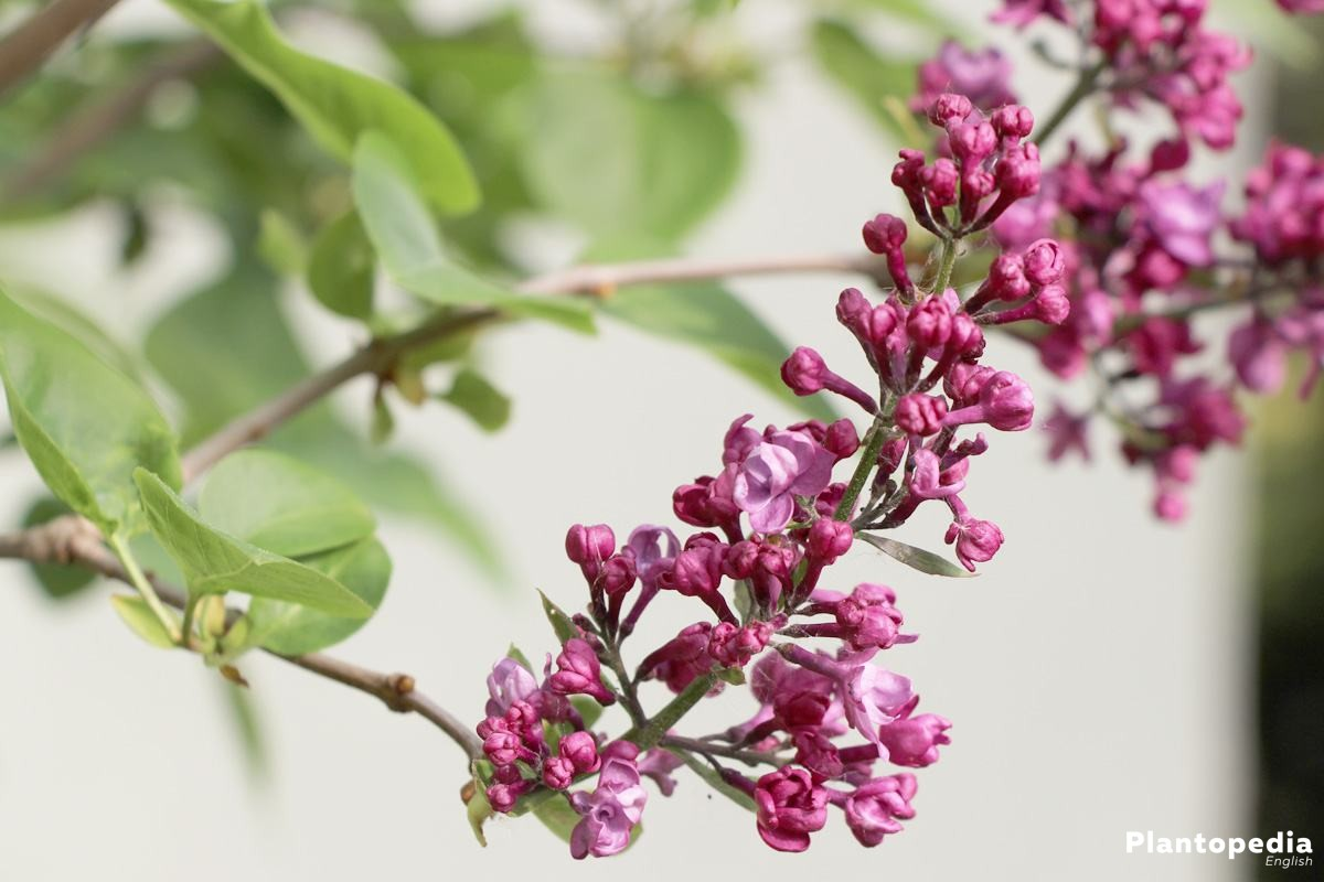 Syringa, Syringa Vulgaris Tree with violet blossom panicles