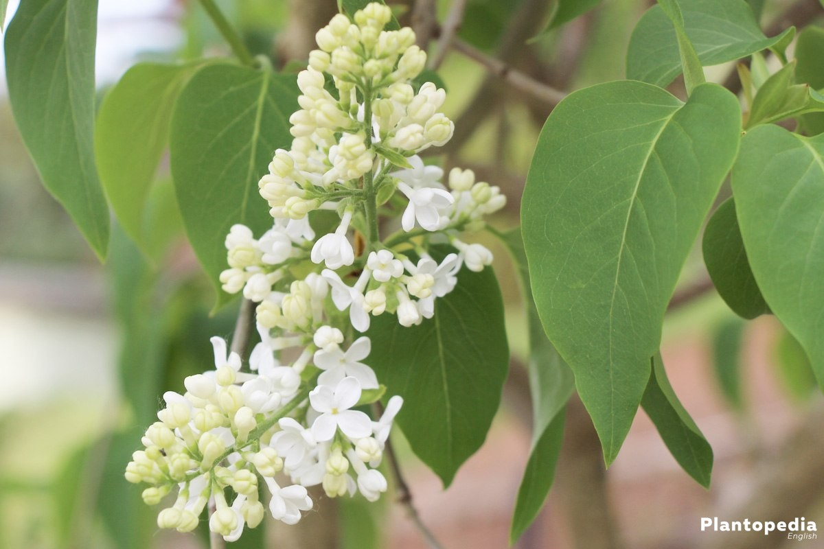 Syringa with white blossom panicles