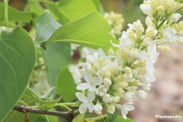 Syringa Vulgaris Tree a scented shrub for every garden