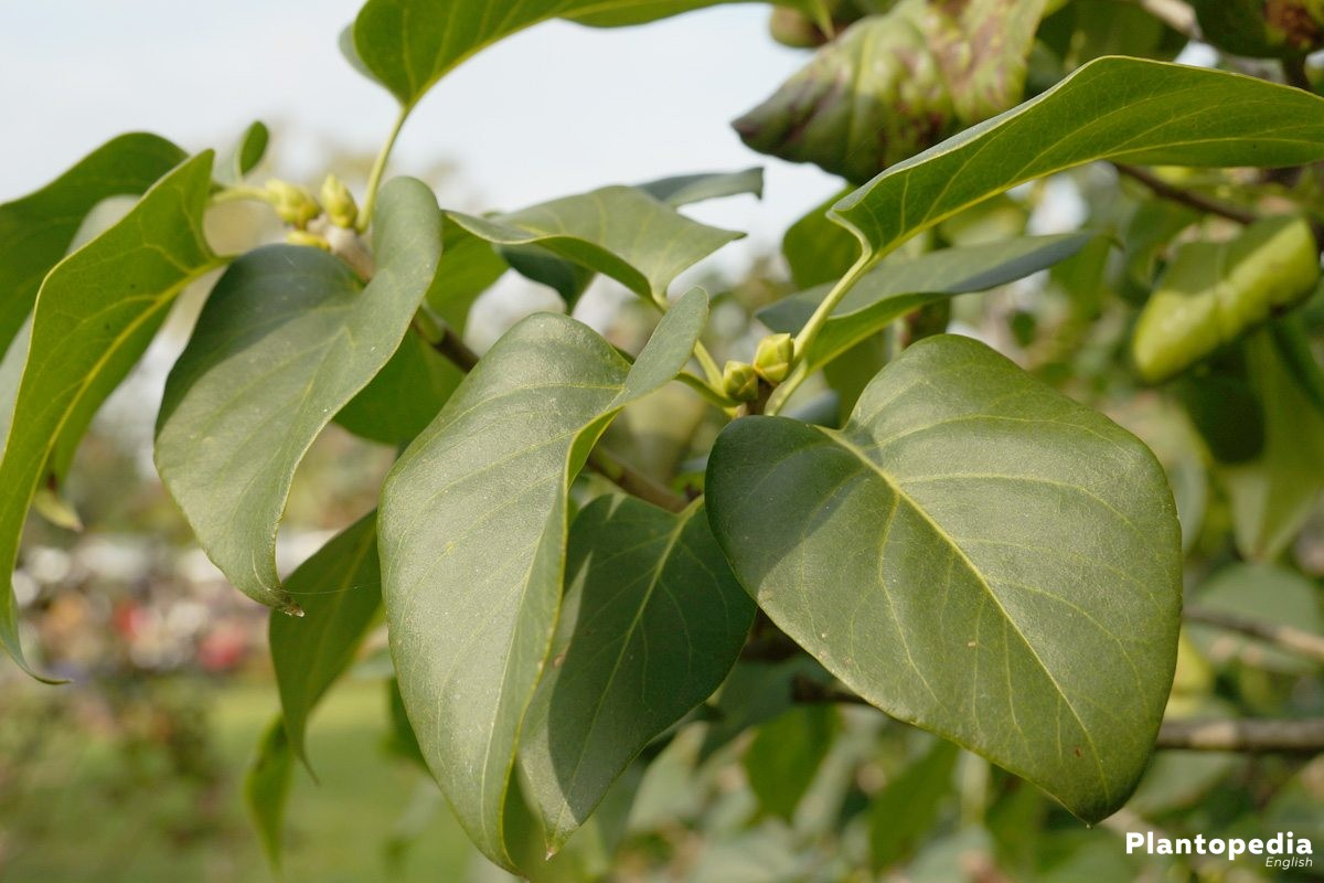 Syringa, Syringa Vulgaris Tree with buds