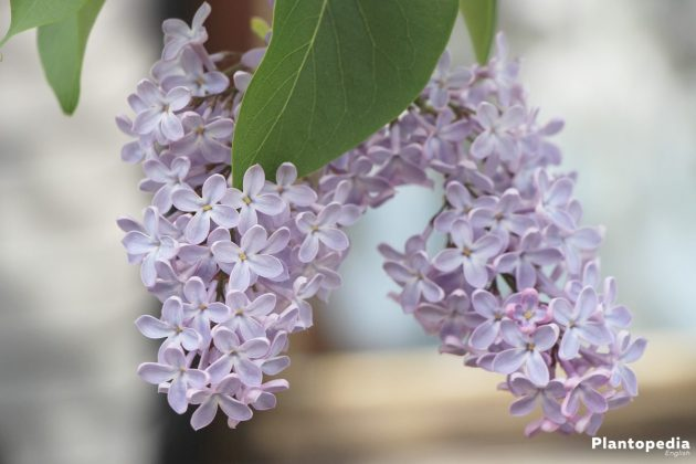 Syringa, Syringa Vulgaris Tree with light violet blossoms