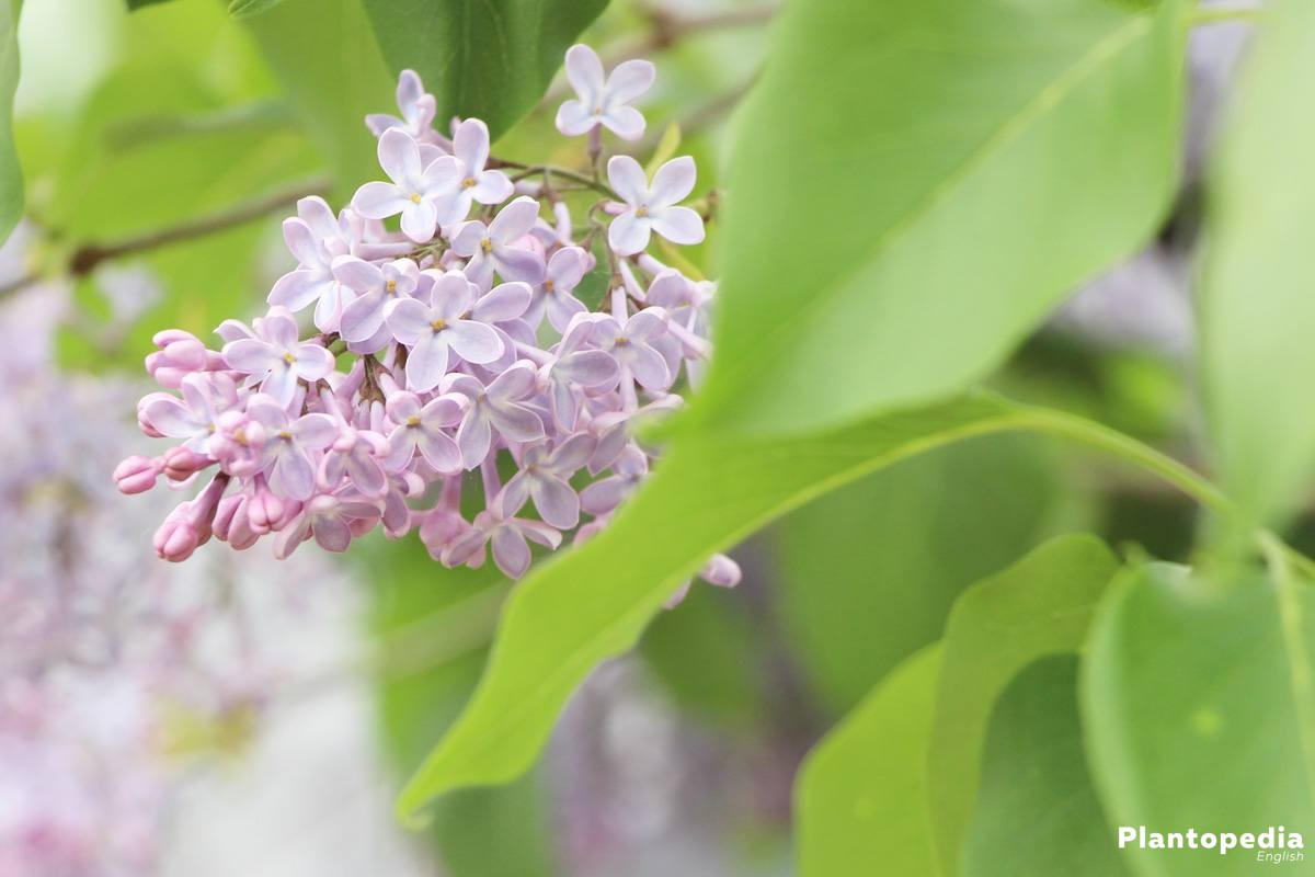 Syringa with colorful blossoms