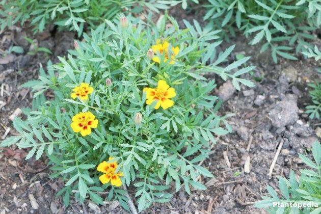 Tagetes, Marigold Flower