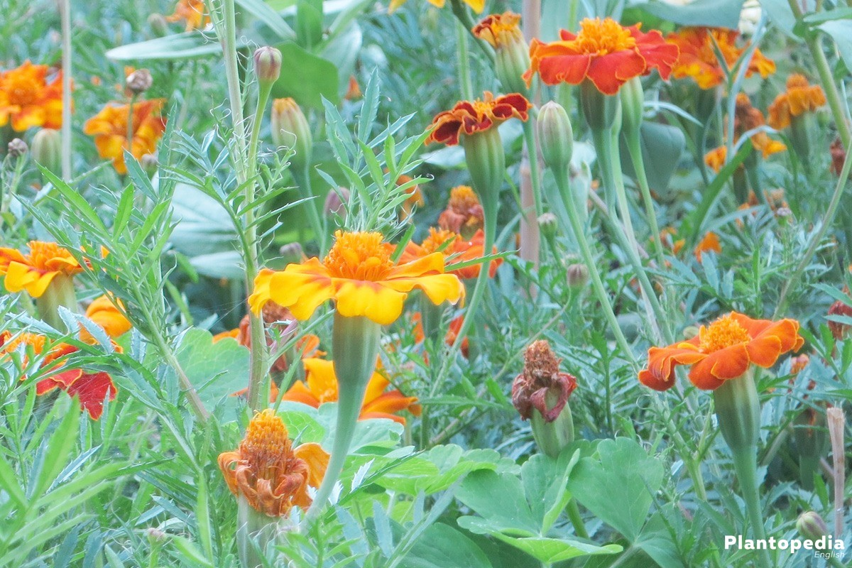 how to grow marigold plant