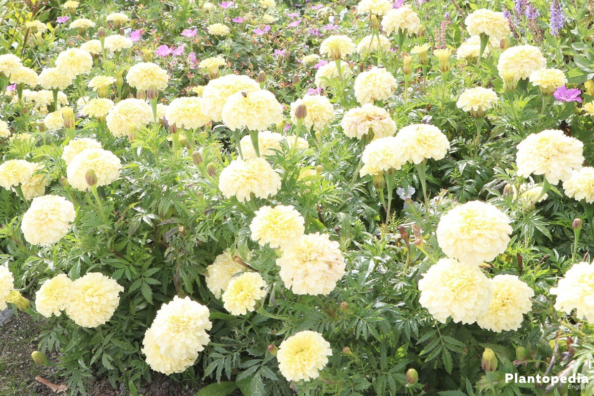 tagetes marigold flower information how to plant grow and care plantopedia. Black Bedroom Furniture Sets. Home Design Ideas