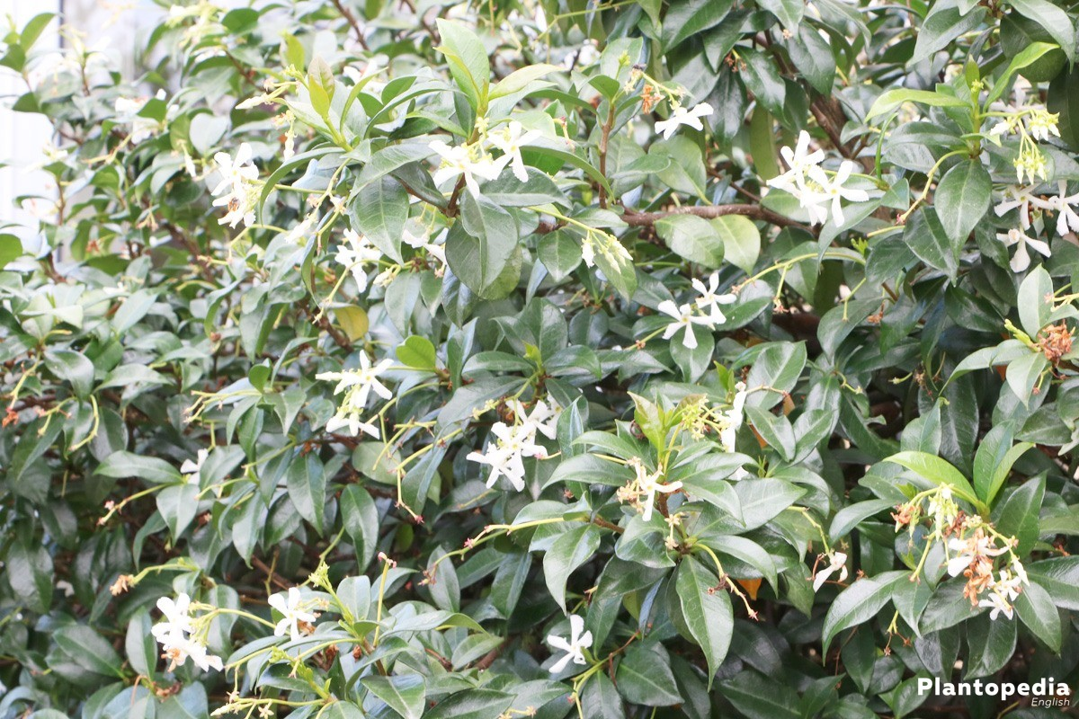 Jasmine, Jasminum Plant in the garden