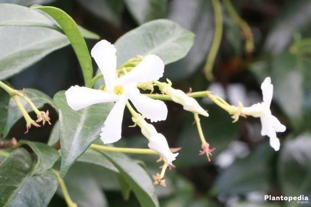 Jasmine, Jasminum Plant is not only an interior plant