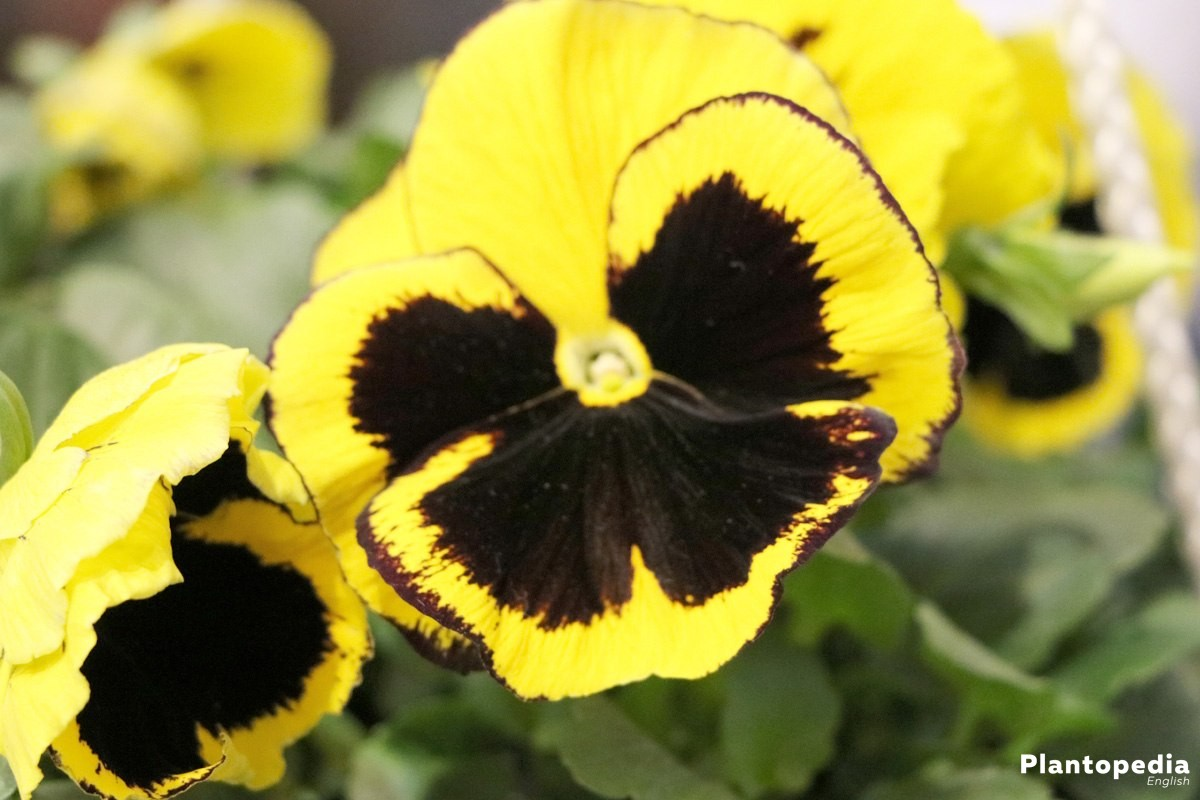 Growing Pansies, Viola Tricolor, Fama Series