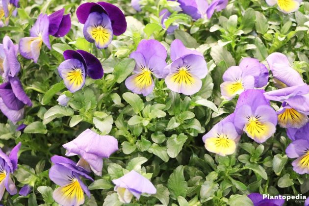 Viola Tricolor, Violet Flower also as pot plant