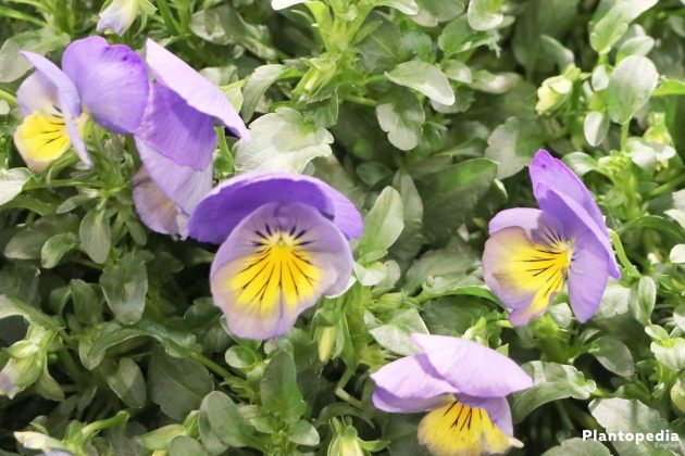 Growing Pansies, Viola Tricolor, Violet Flower - are heralds of spring