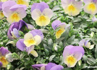 Growing Pansies, Viola Tricolor, Violet Flower