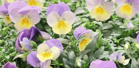 Growing Pansies, Viola Tricolor, Violet Flower