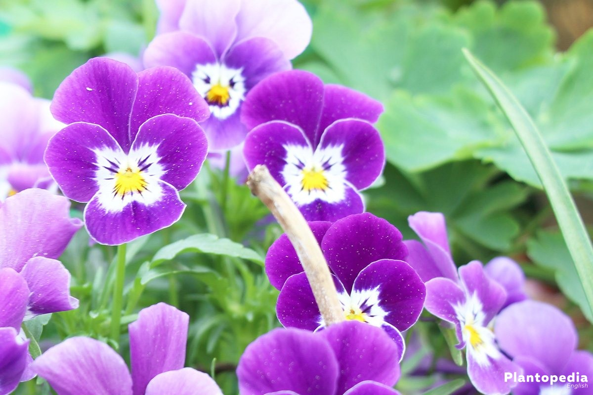 Growing Pansies in many different blossom colors