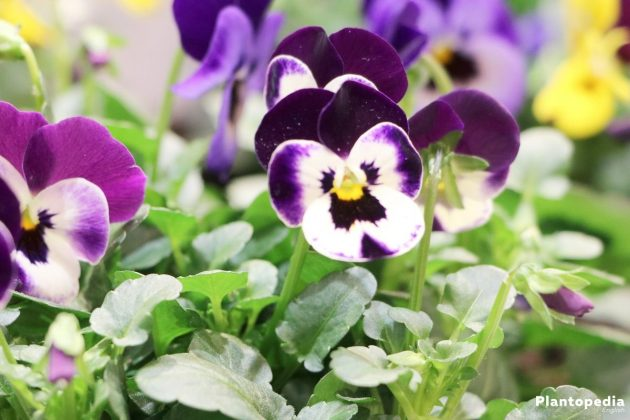 Growing Pansies, Viola Tricolor in many different color shades