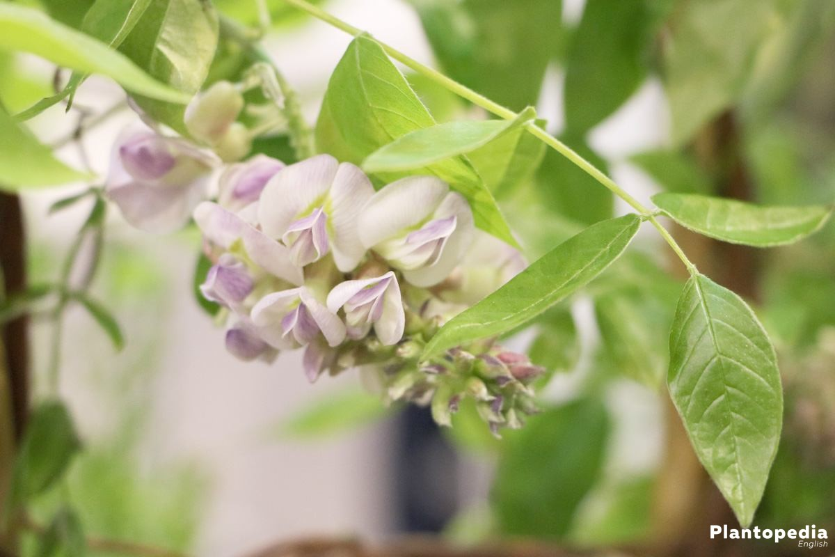 Wisteria Tree with its lavish blossoms and its sweet scent