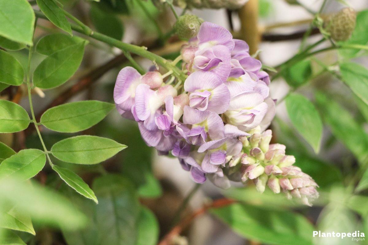Wisteria Tree How To Plant Grow Care Prune Vines