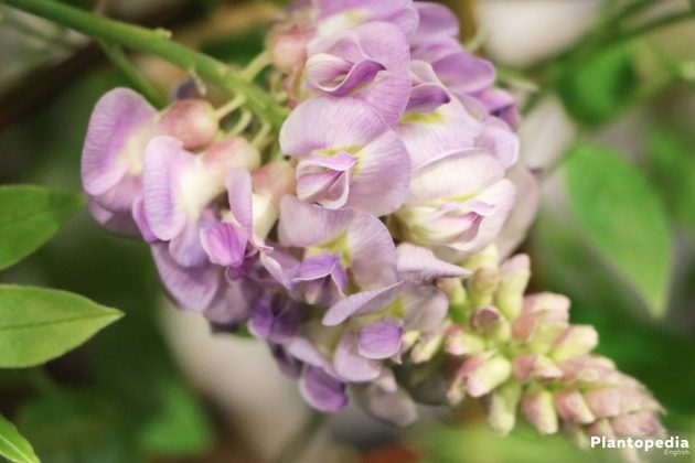Wisteria with full blossom