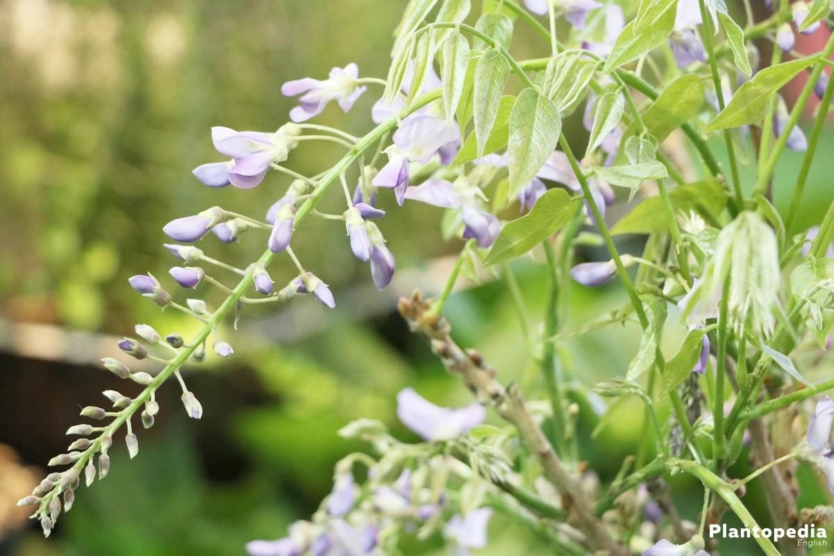 Wisteria tree how to plant grow care prune wisteria for The wisteria