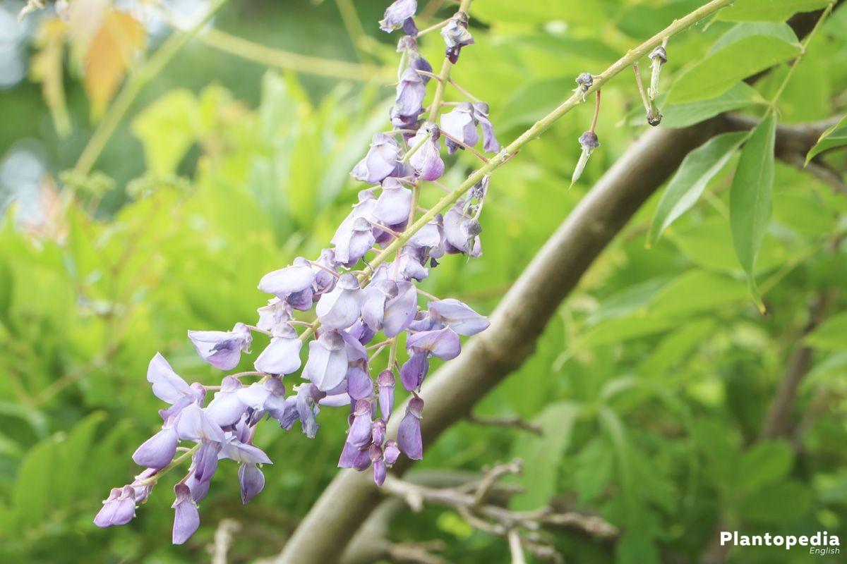 Wisteria in color blossoms blue or white