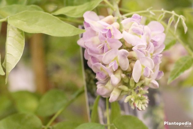 Wisteria - perfect planting time is in spring