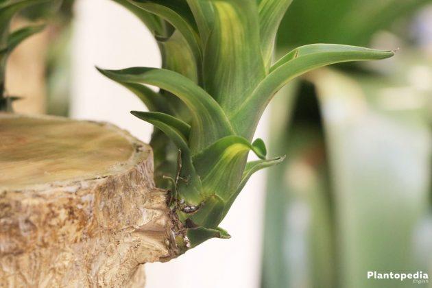 Indoor Yucca Plant, Yucca Elephantipes Tree