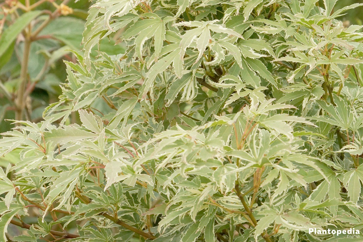 Japanese Maple Tree Acer Palmatum How To Plant And Care Plantopedia