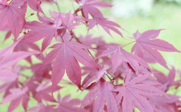 Acer palmatum japonicum, Japanese Maple
