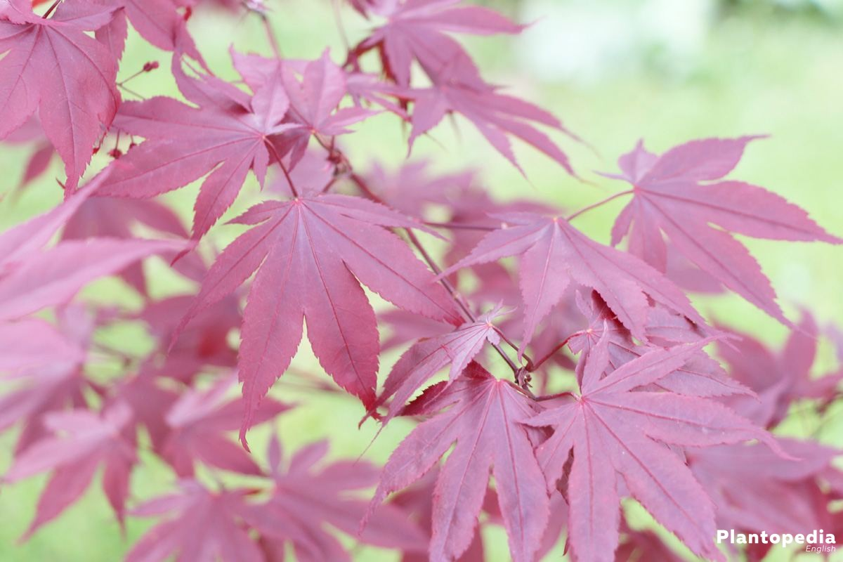 japanese maple tree acer palmatum how to plant and care. Black Bedroom Furniture Sets. Home Design Ideas