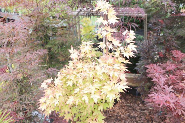 Acer palmatum japonicum