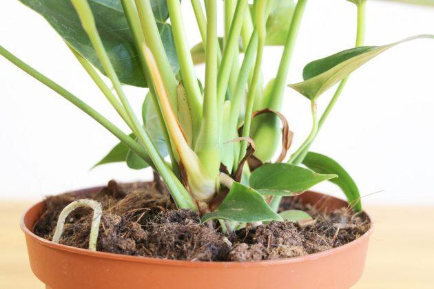 Anthurium andreanum