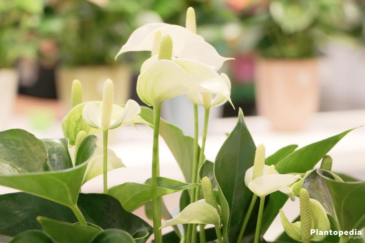 Anthurium Plant Care Tailflower Flamingo Flower And Laceleaf