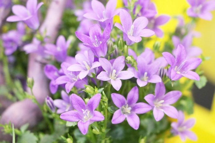 Campanula portenschlagiana, bell flower