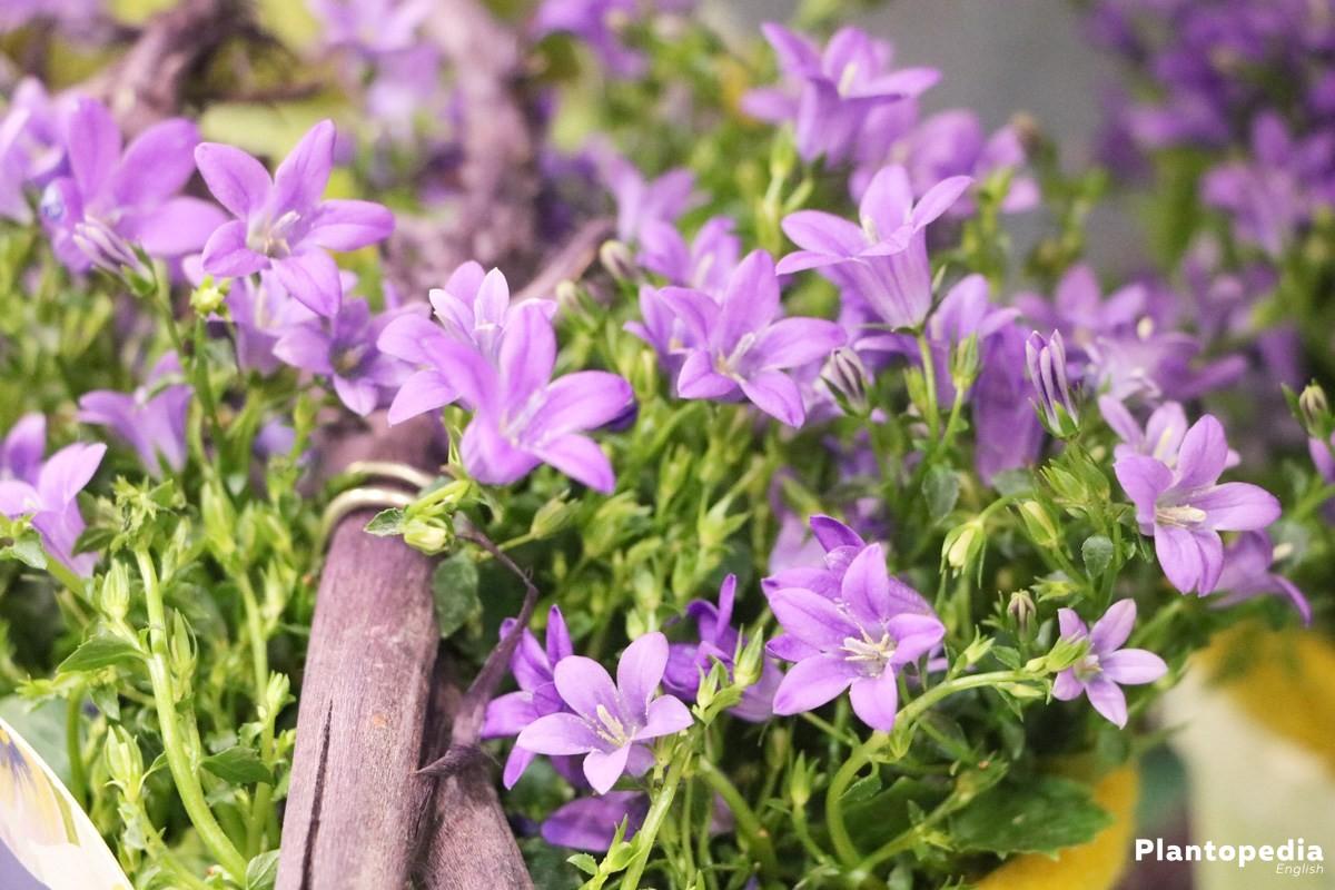 Bellflower Plant Campanula Rotundifolia Flower Varieties How To