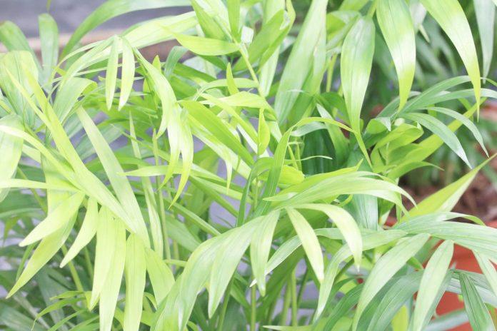 Chamaedorea elegans, Mountain palm