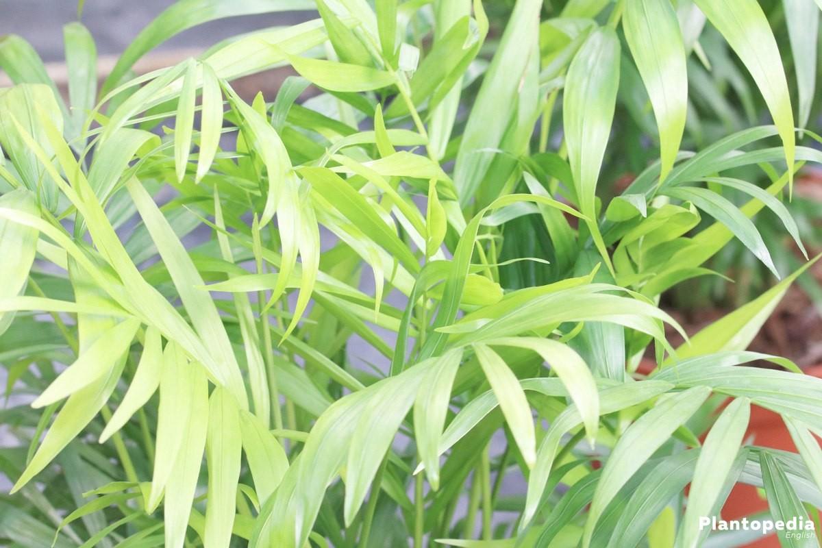 parlor palm neanthe bella chamaedorea elegans plant. Black Bedroom Furniture Sets. Home Design Ideas