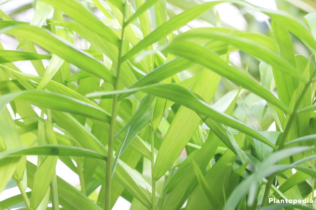 Chamaedorea elegans, Mountain palm - enjoy the evergreen growth for many years