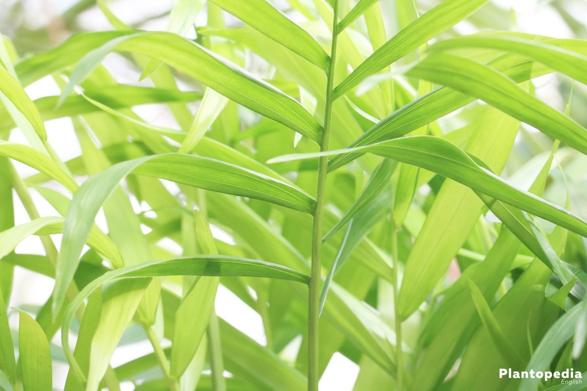 Mountain palm with evergreen, feathered leafs