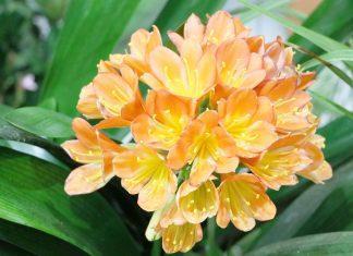 Clivia Miniata, Kaffir Lily Plant