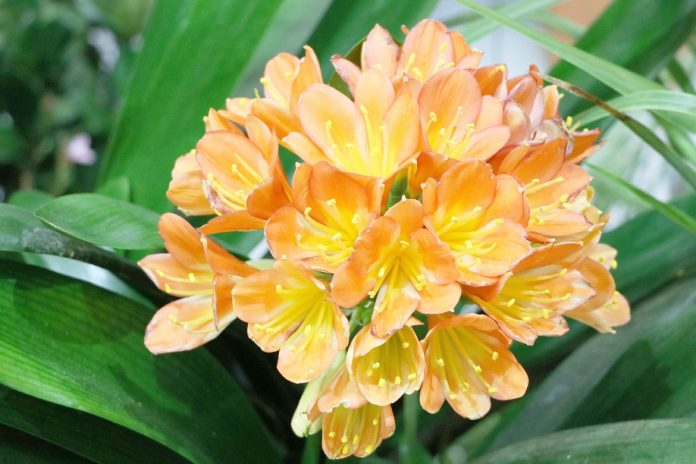 Kaffir Lily Plant Orange Clivia Miniata Factsheet Amp How