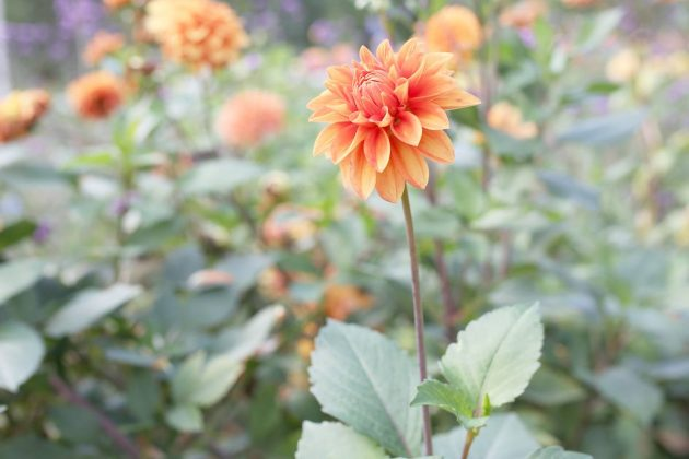 "Dahlia hortensis ""Antenne Brandenburg"""