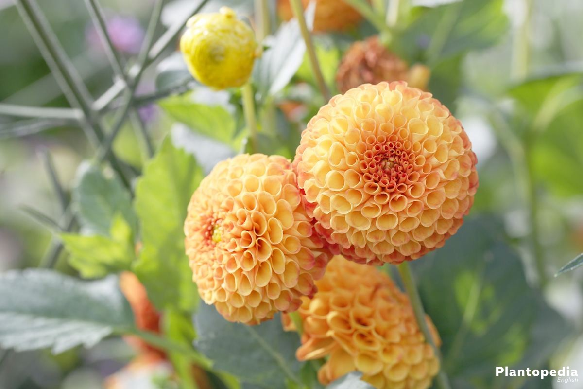 Dahlia flower information how to plant grow and care for dalias dahlia hortensis bantling izmirmasajfo