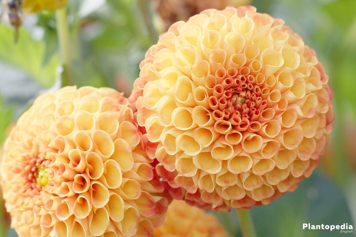 Dahlia flower information how to plant grow and care for dalias dahlia hortensis bantling izmirmasajfo