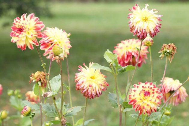 """Dahlia hortensis """"Dynasty"""""""