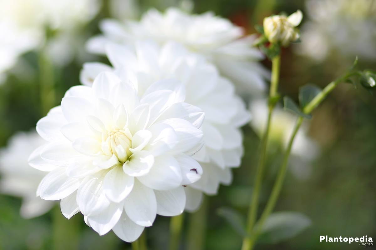 Dahlia flower information how to plant grow and care for dalias dahlia hortensis honka wit izmirmasajfo