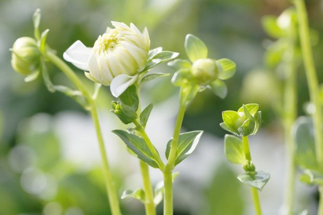 "Dahlia hortensis ""Honka Wit"""