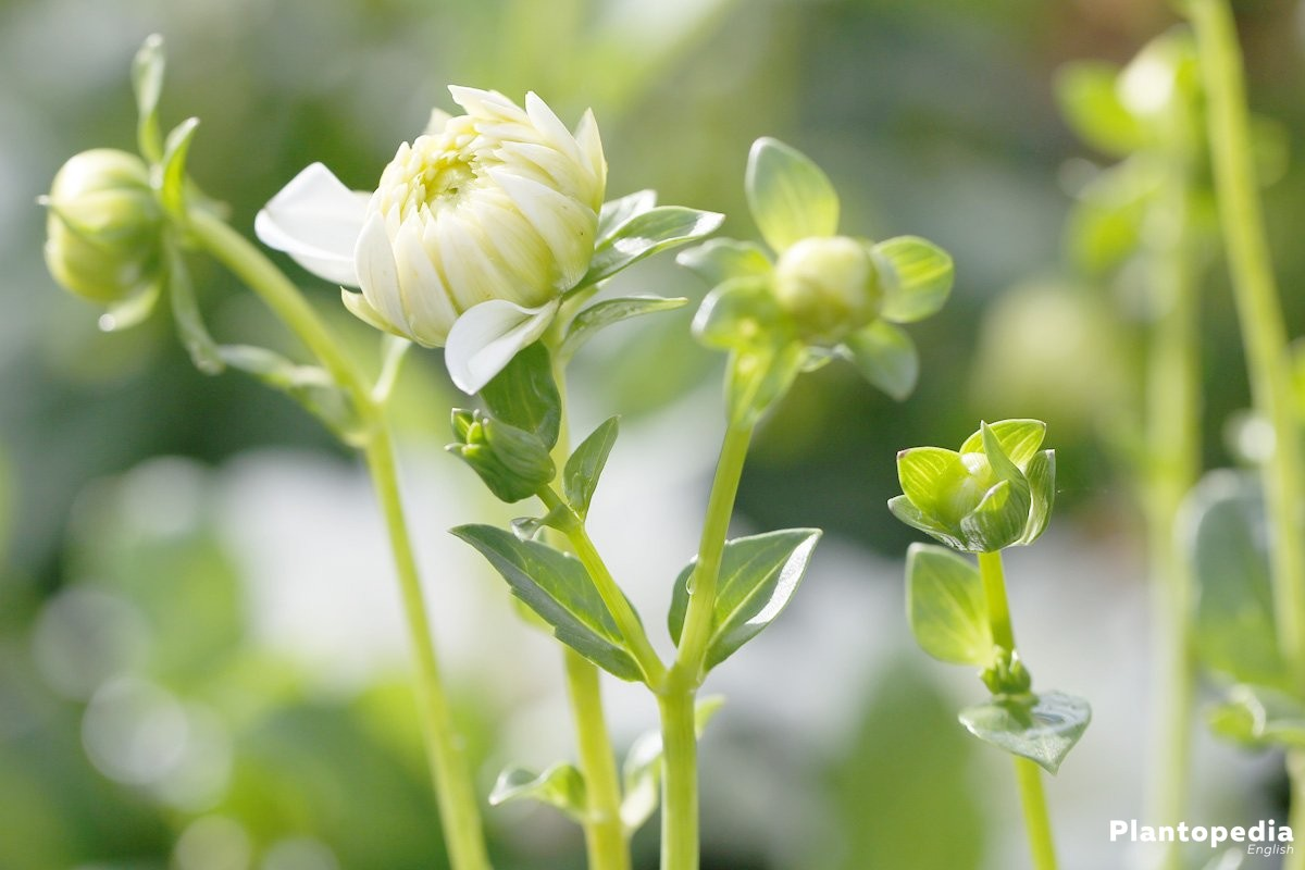 Dahlia Flower Information How To Plant Grow And Care For Dalias Plants Watering Watcher 2 Plantopedia