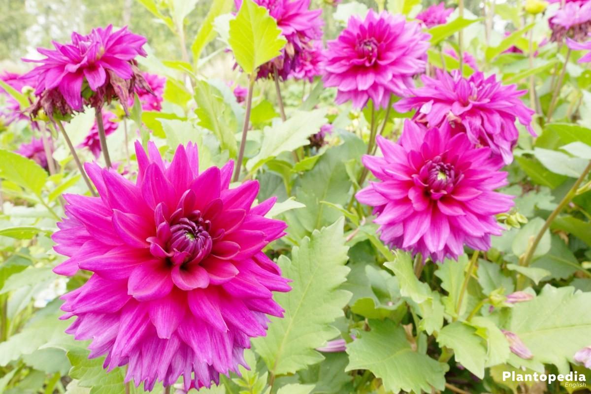 Dahlia flower information how to plant grow and care for dalias dahlia hortensis mathilda huston izmirmasajfo