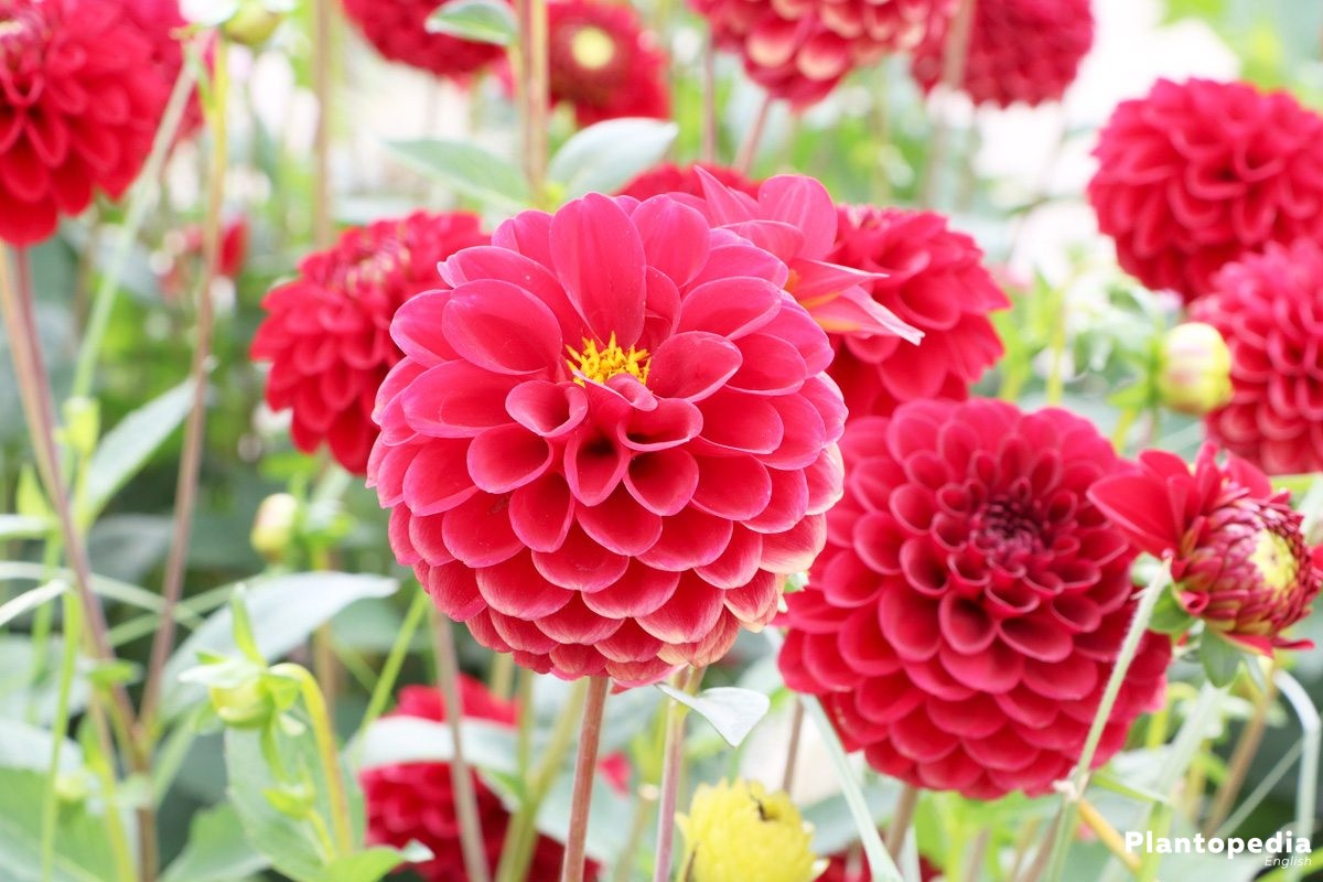 Dahlia Flower Information How To Plant Grow And Care For Dalias