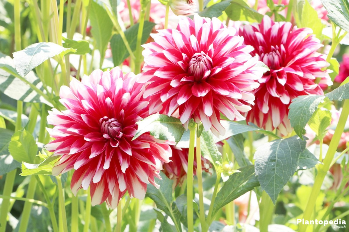 Dahlia flower information how to plant grow and care for dalias dahlia hortensis izmirmasajfo